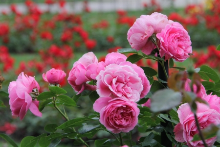beautiful roses garden