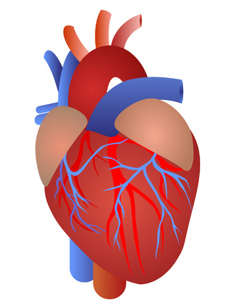 Human heart from a healthy body isolated on white backdrop as a medical health care symbol of an inner cardiovascular organ.