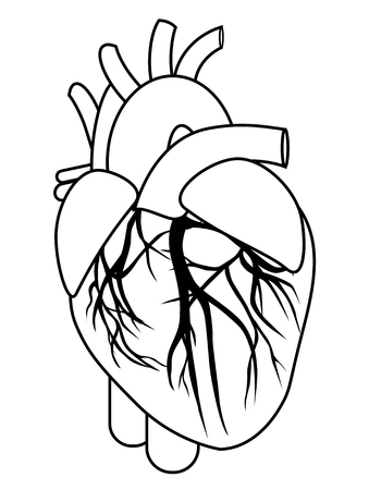 Human heart anatomy from a healthy body isolated on white background as a medical health care symbol of an inner cardiovascular organ vector eps 10 Illustration