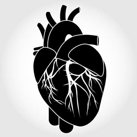 four chambers: Human heart anatomy from a healthy body isolated on white background as a medical health care symbol of an inner cardiovascular organ vector eps 10 Illustration