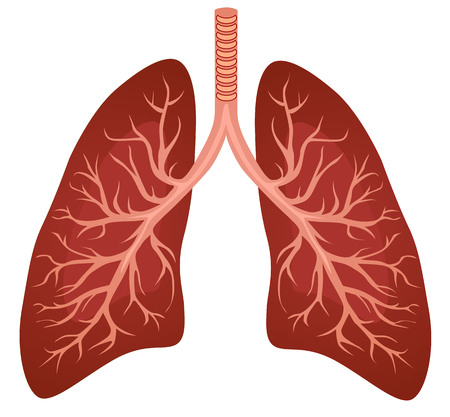 Illustrazione di organi polmoni umani.