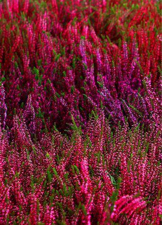 colorful heathers autumn flowers stock photo Banque d'images