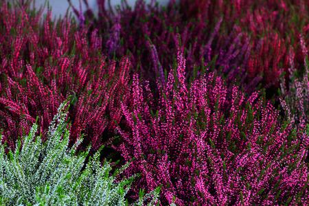 Heathers colorés fleurs automne - Photo Banque d'images