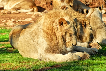 Group of lions resting on the grass photo