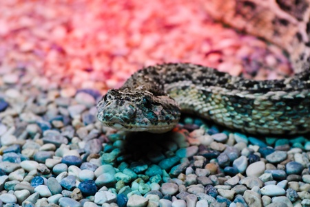 A snake close-ip on the rocks whith colored lights photo