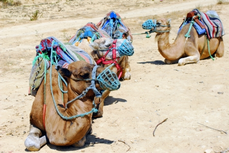 Group of camels in tour for Tunisian land photo