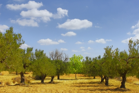 Olives colture in Tunisia, group of olives trees photo