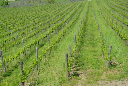 tuscan: Tuscan vineyard landscape background