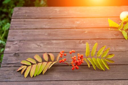 Rowan sprig with red fruits and green leaves on a wooden table in the garden in the sun