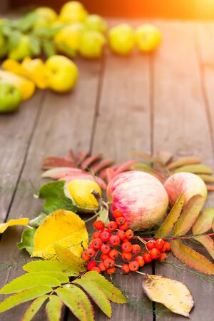 Autumn harvest. Closeup of colorful leaves, Rowan berries, apples with pears on a wooden table in the garden
