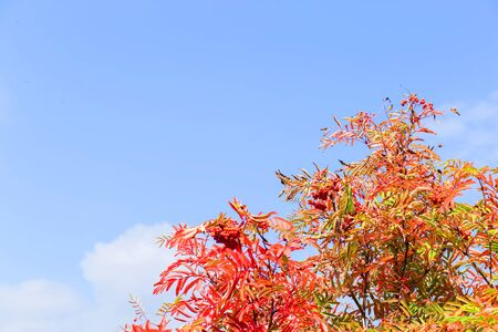 Beautiful autumn background for copy space. Red mountain ash on a background of blue sky Фото со стока