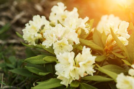 Beautiful white rhododendron flowers closeup in the sun. Фото со стока