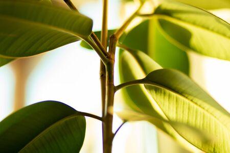 Houseplant, beautiful green ficus closeup, selective focus Banco de Imagens