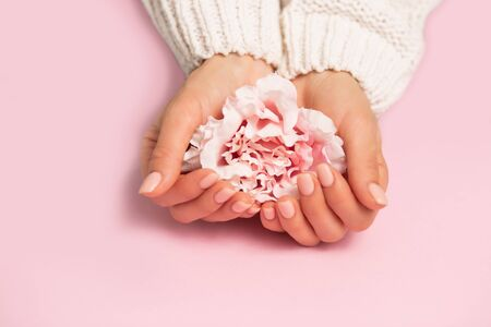 Closeup beautiful flower peony rose on female hands with manicure in white sweater on pink background with copy space. Winter care, skin, Spa concept