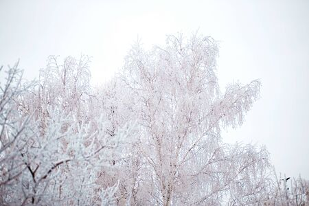 White birch trees covered with snow on sky background, winter, copy space