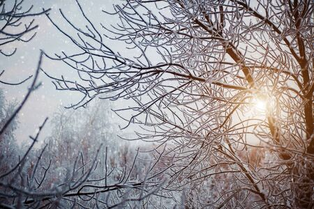 Magical winter forest in the evening. White snow and tree branches at sunset