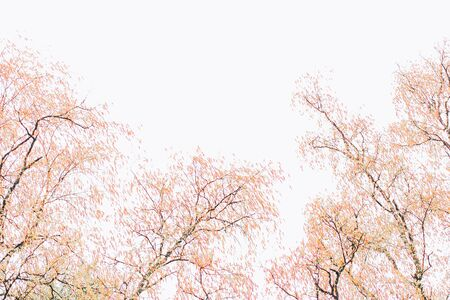 Beautiful autumn background with white sky and yellowed leaves on trees with copy space