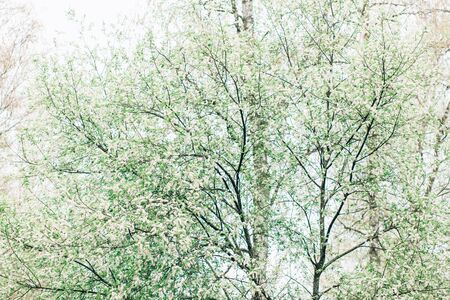 Beautiful green background of flowering cherry trees in spring