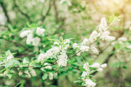 Closeup white cherry blossoms on tree branches with green leaves in nature in spring