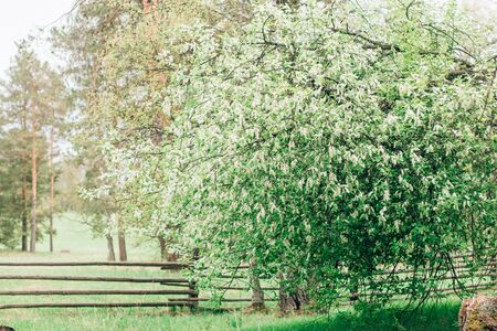 Beautiful spring nature with a large cherry tree with white flowers on the branches on the background of the fence and pines