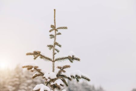 Closeup of a small spruce covered with white snow in winter on the sky background, copy space Archivio Fotografico - 138100395