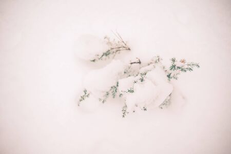 Close up of a small shrub juniper covered with white snow in a winter forest. Top view, copy space Archivio Fotografico - 138112023