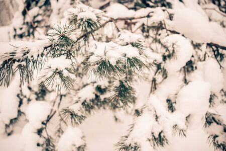 Closeup of green pine branches covered with white snow in winter Archivio Fotografico - 138111958