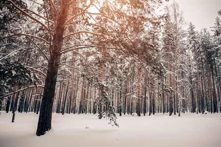 Beautiful winter forest, high pine trees covered with white snow in nature Archivio Fotografico - 138112685