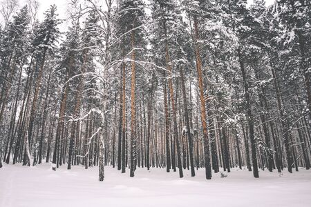 Beautiful winter background of tall trees in the forest Archivio Fotografico - 138113476