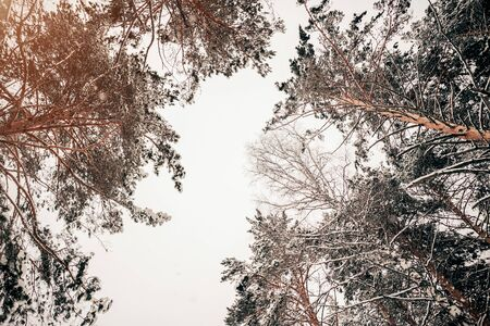 Tops of beautiful trees against the white sky in winter in the forest Archivio Fotografico - 138115337