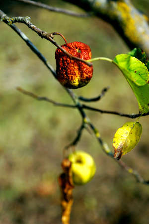 Withering Harvest - Fruit trees drying up in an orchard in Italy. Effects of global warming.