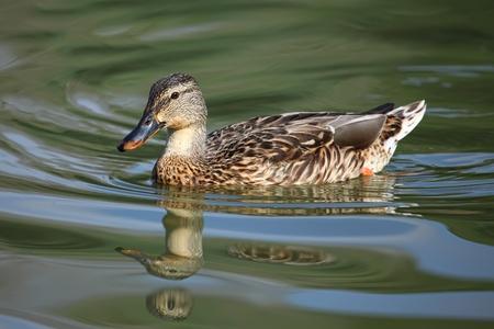 famale mallard duck on the lake