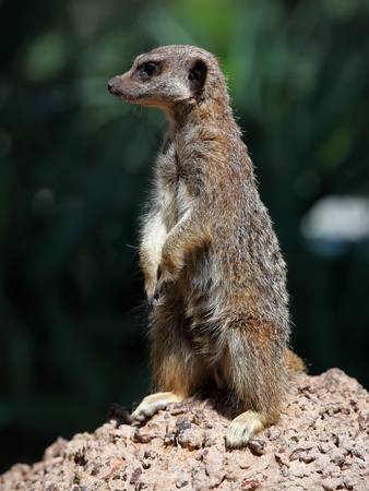sentry: Portrait of a standing suricate on the stone