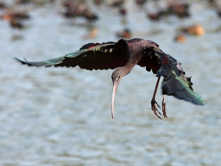 Glossy Ibis (Plegadis falcinellus) Landing on water photo
