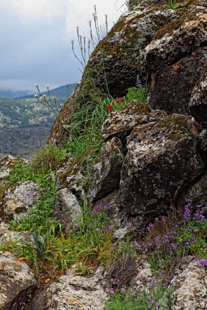 Wild Flowers growing out of a rock .Golan Heights,Israel