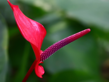 purple flamingo flower  photo
