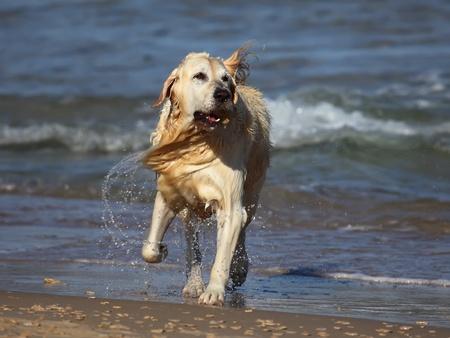 Golden Retriever  running out of water  photo
