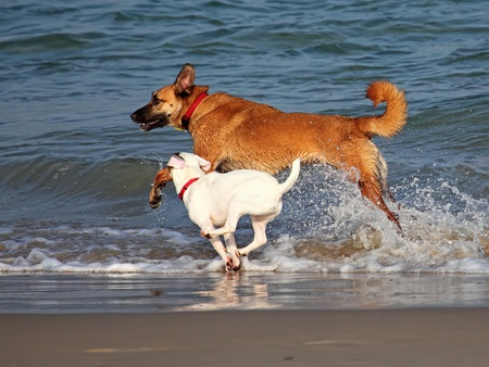 Two dogs playing and splashing in water at the beach photo