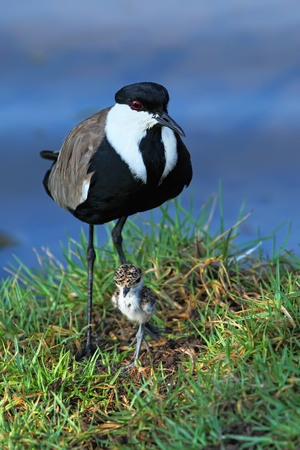 lapwing: Lapwing with nestling ( baby bird  )