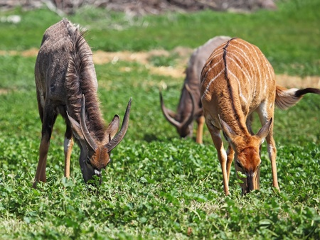 male and female antelope kudu feeding on the grass photo