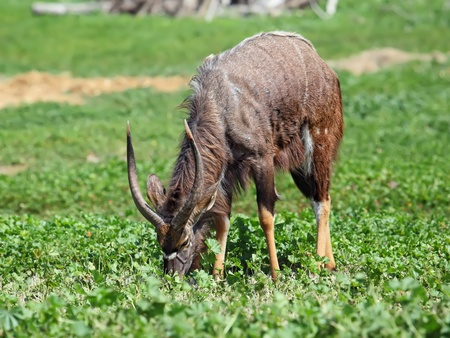 male  antelope kudu feeding on the grass  photo