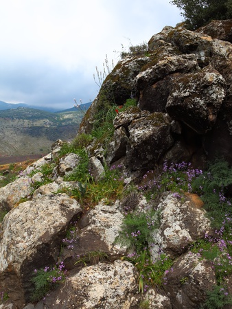 golan: Wild Flowers growing out of a rock  Golan Heights,Israel