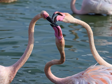 Head and neck image of Three flamingos, crashing their beaks against each other   Stock Photo - 13294587