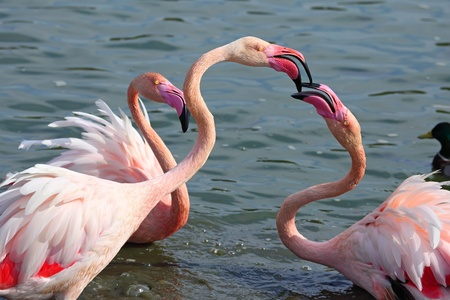 Head and neck image of Three flamingos