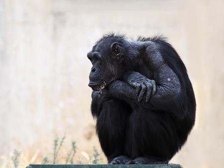 human evolution: Chimpanzee sitting on the  flooring
