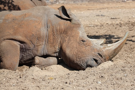 rhino sleeping Stock Photo - 13294685
