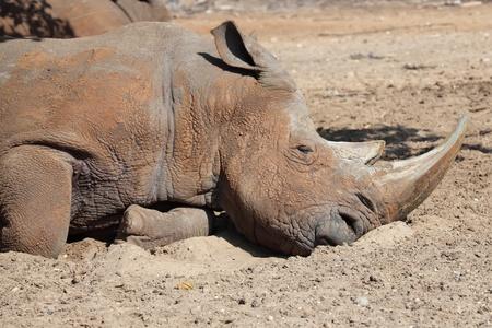 penned:  rhino sleeping Stock Photo