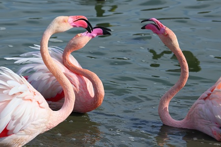 Head and neck image of Three flamingos Stock Photo - 13325801
