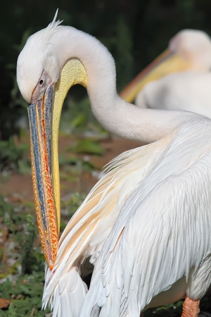 endothermic: White pelican  cleaning his feathers with its beak  Stock Photo