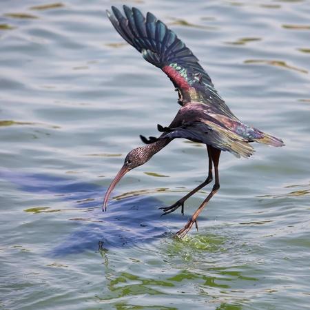 The Glossy Ibis  Plegadis falcinellus  is a wading bird in the ibis family Threskiornithidae Landing on water photo